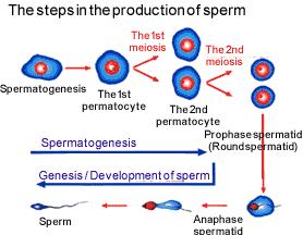 spermStep